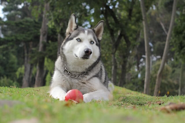 Gifts For Husky Lovers; 20 Best Ideas For 2021
